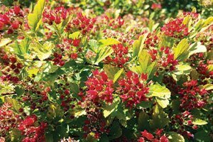raspberry lemonade ninebark physocarpus opulifolius ZLEYel2 catalog