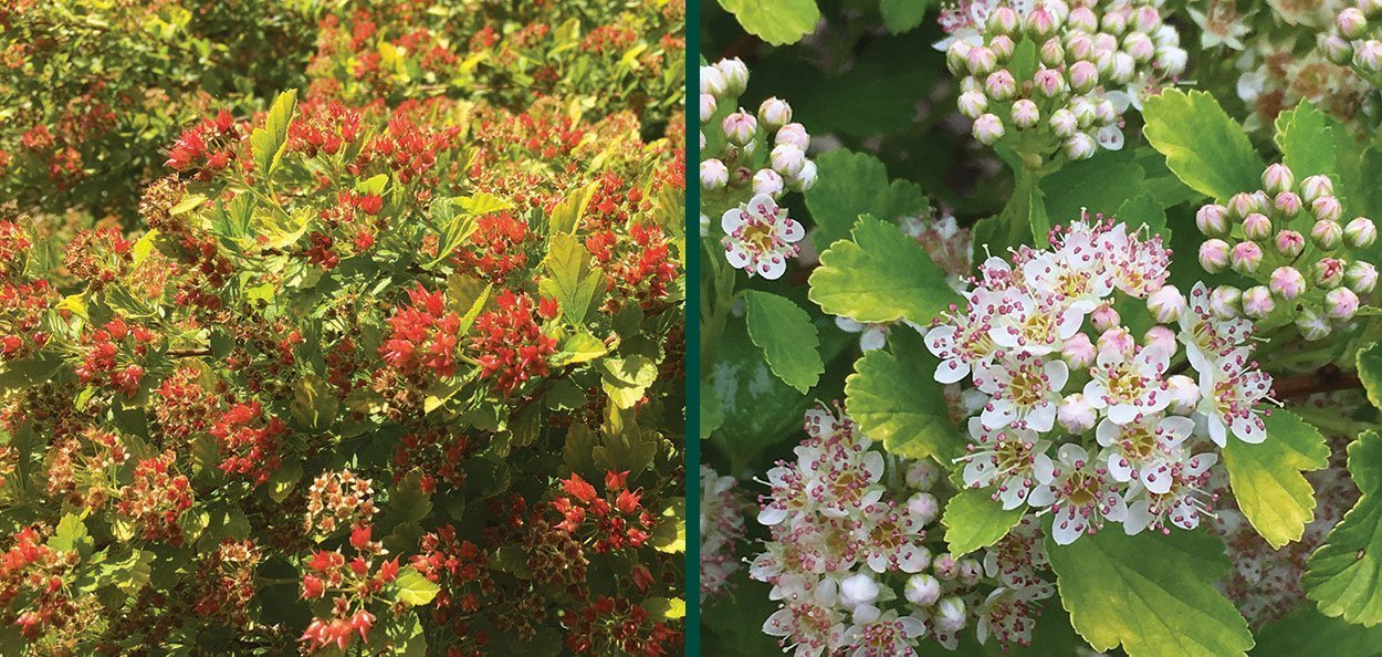 raspberry lemonade ninebark physocarpus opulifolius ZLEYel2 red spring buds