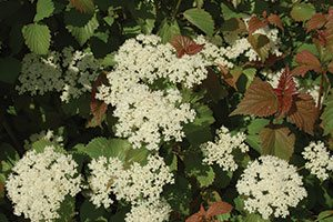 red feather arrowwood viburnum dentatum jn select catalog