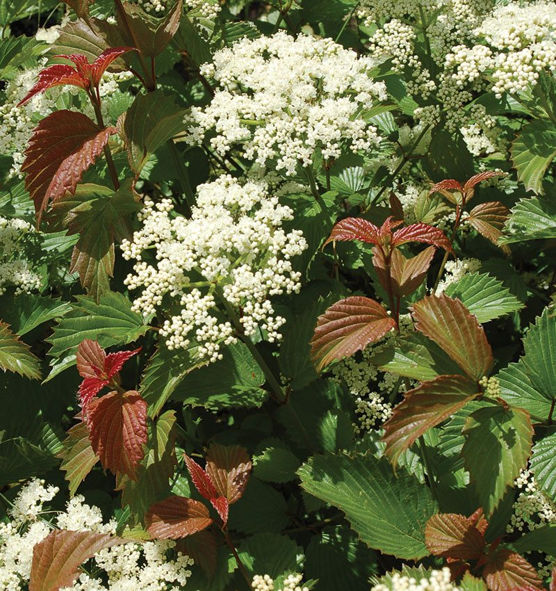 red feather arrowwood viburnum dentatum jn select ftimg