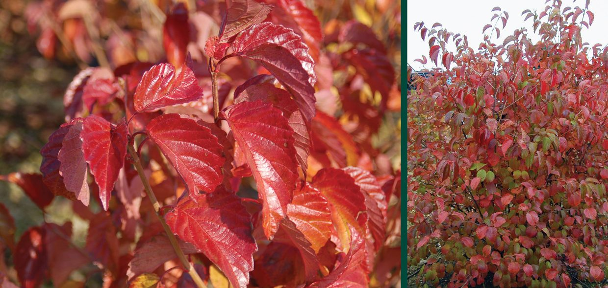 red feather arrowwood viburnum dentatum jn select madison