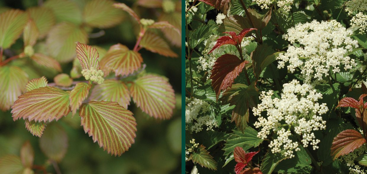 red feather arrowwood viburnum dentatum jn select waukesha
