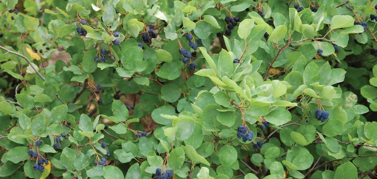 running serviceberry amelanchier stolonifera wisconsin native shrub foliage and berry profile