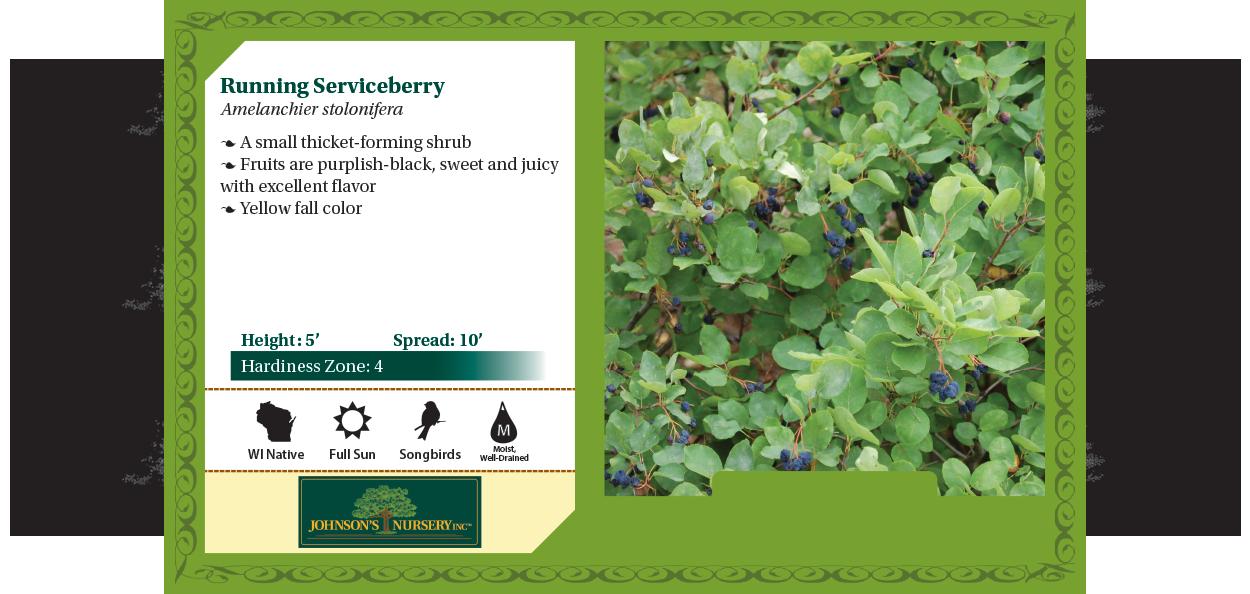 running serviceberry amelanchier stolonifera wisconsin native shrub johnson's nursery benchcard
