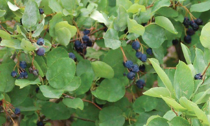 running serviceberry amelanchier stolonifera wisconsin native shrub johnson's nursery ftimg
