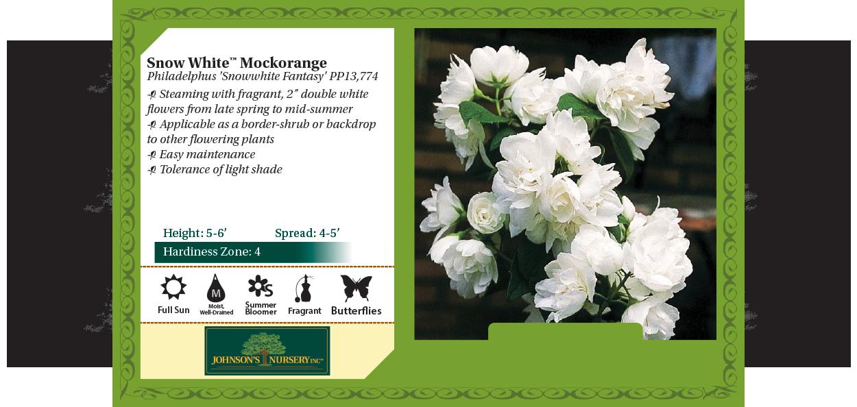 snow white mockorange philadelphus snowwhite fantasy benchcard