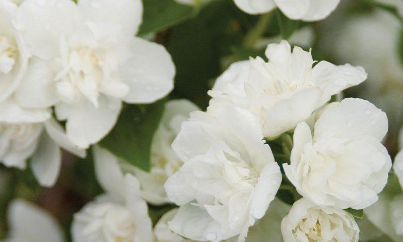 snow white mockorange philadelphus snowwhite fantasy ftimg