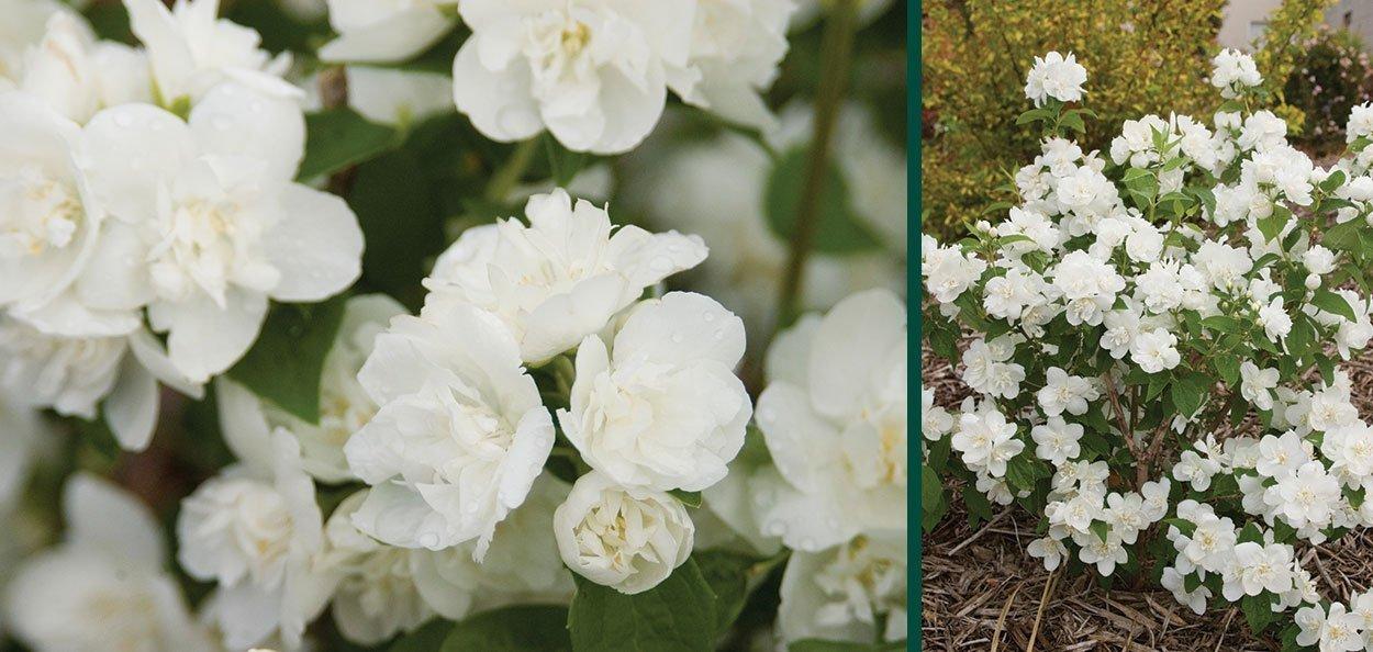 snow white mockorange philadelphus snowwhite fantasy white flower fragrant mock orange shrubs