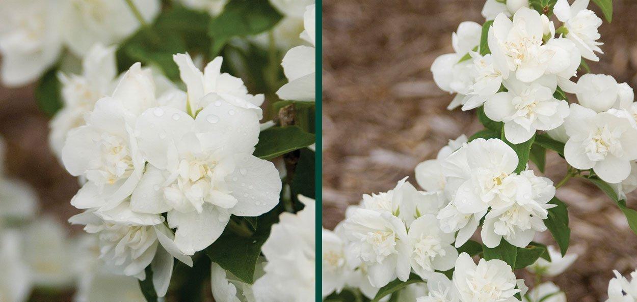 snow white mockorange philadelphus snowwhite fantasy white flower full sun landscape shrubs