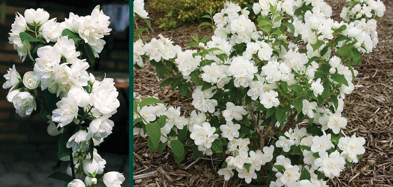 snow white mockorange philadelphus snowwhite fantasy white flowering mock orange shrubs