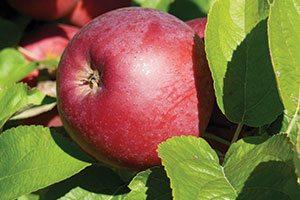 spartan apple malus domestica catalog