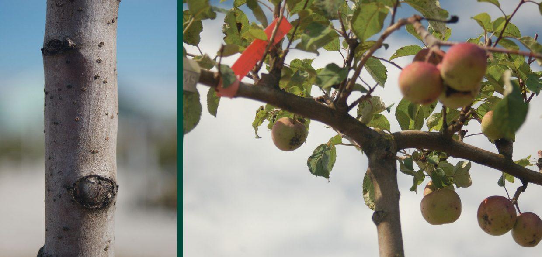 spartan apple malus domestica espalier wisconsin