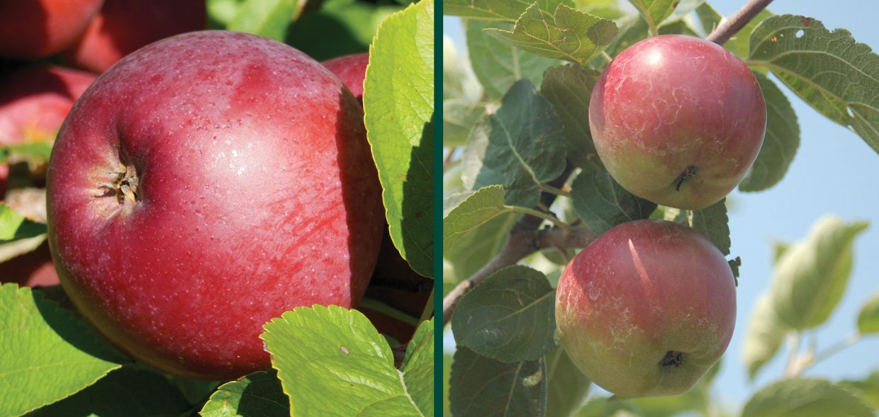 spartan apple malus domestica fruit waukesha