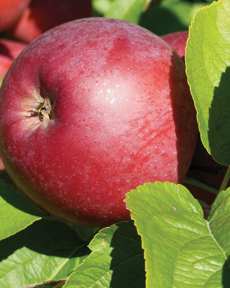 spartan apple malus domestica ftimg