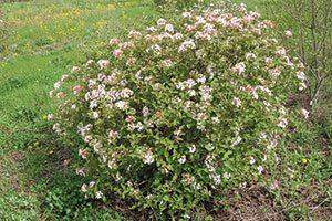 spice island koreanspice viburnum carlesii jn select a catalog