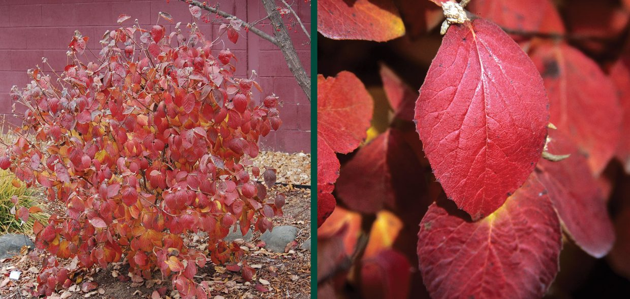 spice island koreanspice viburnum carlesii jn select a fall color wisconsin