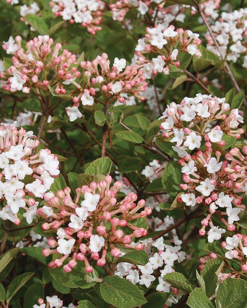 spice island koreanspice viburnum carlesii jn select a ftimg