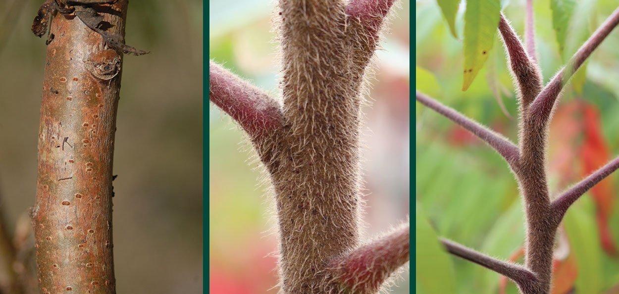 staghorn sumac rhus typhina rough hairy bark stems