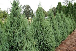 Star Power Juniper fasted growing upright