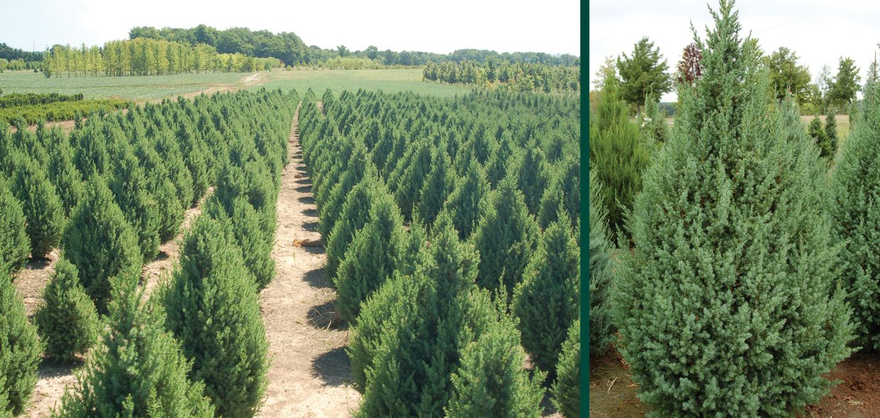 star power juniper juniperus jn select blue field profile