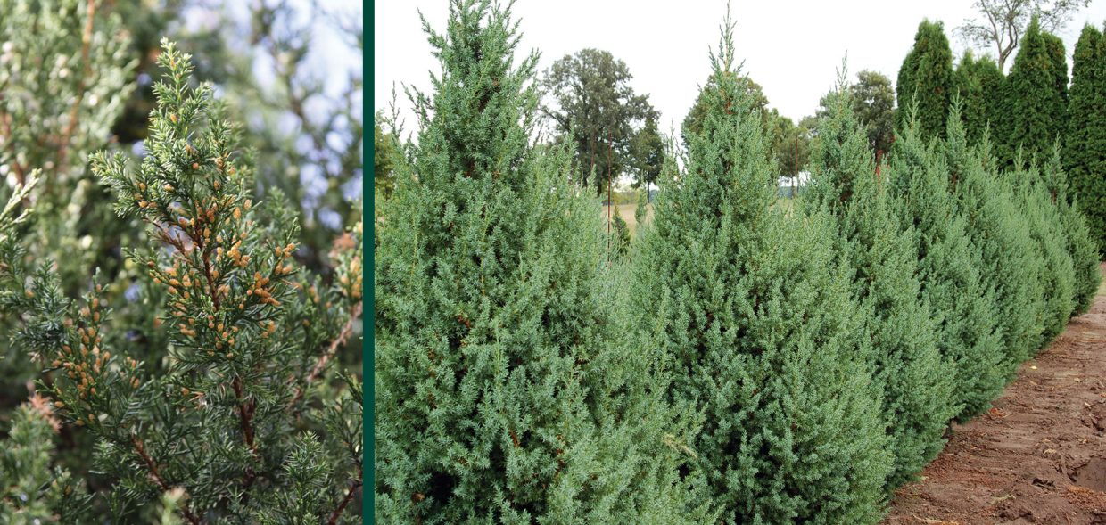 star power juniper juniperus jn select blue foliage field grown