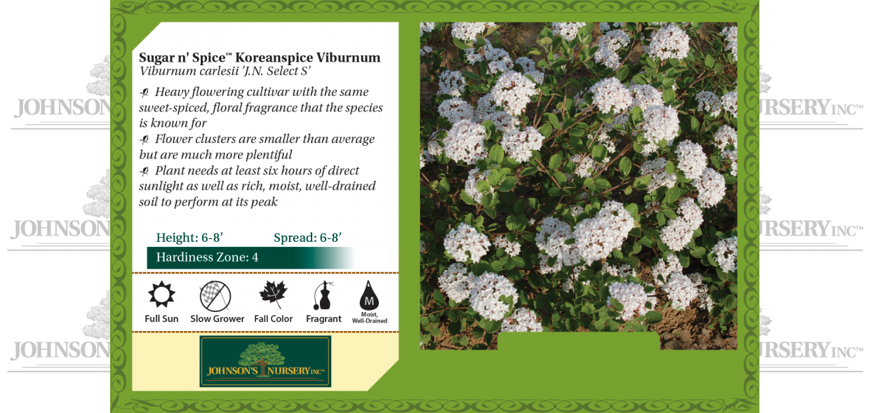 Sugar n' Spice® Koreanspice Viburnum Viburnum carlesii 'Select S' benchcard