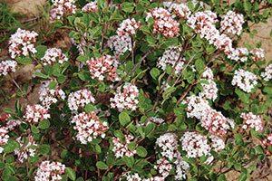 sugar n spice koreanspice viburnum carlesii select s catalog