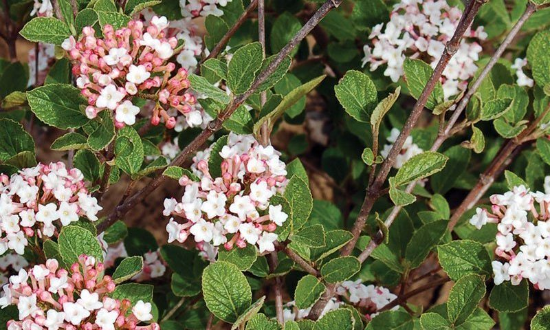 sugar n spice koreanspice viburnum carlesii select s ftimg