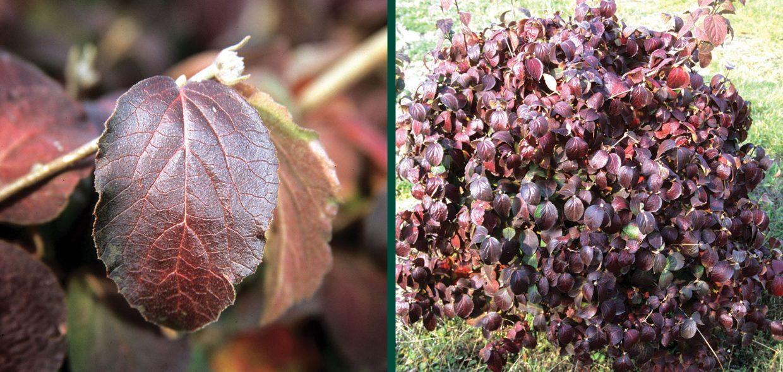 sugar n spice koreanspice viburnum carlesii select s wisconsin