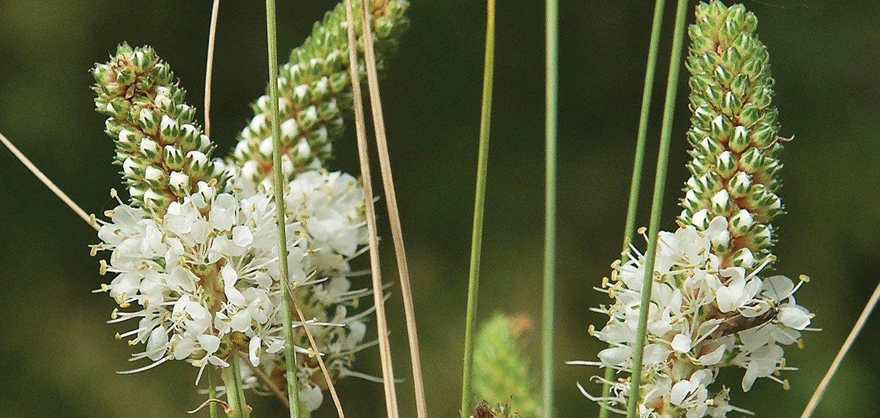 white prairie clover dalea candida johnson's nursery native perennial crown of white flowers
