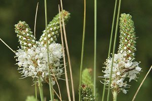 white prairie clover dalea candida johnson's nursery plants native wisconsin catalog