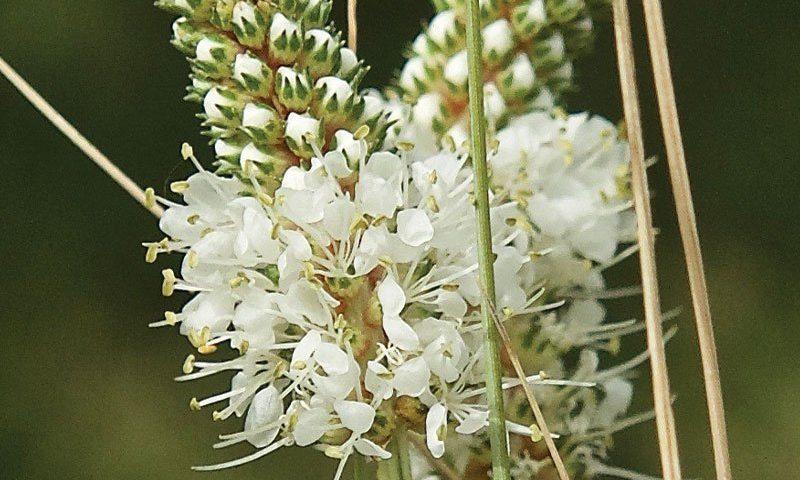 white prairie clover dalea candida johnson's nursery plants native wisconsin ftimg