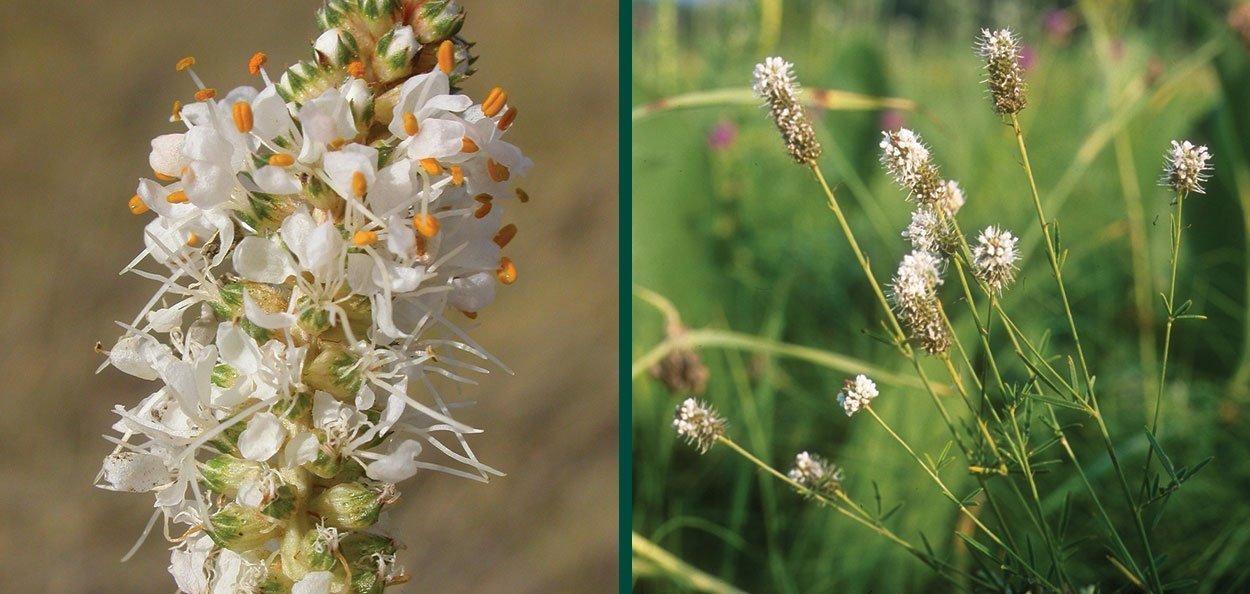 white prairie clover dalea candida johnson's nursery plants native wisconsin white summer bloom perennial