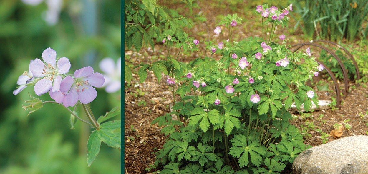 wild geranium maculatum wisconsin native perennial groundcover flower with pink spring flowers
