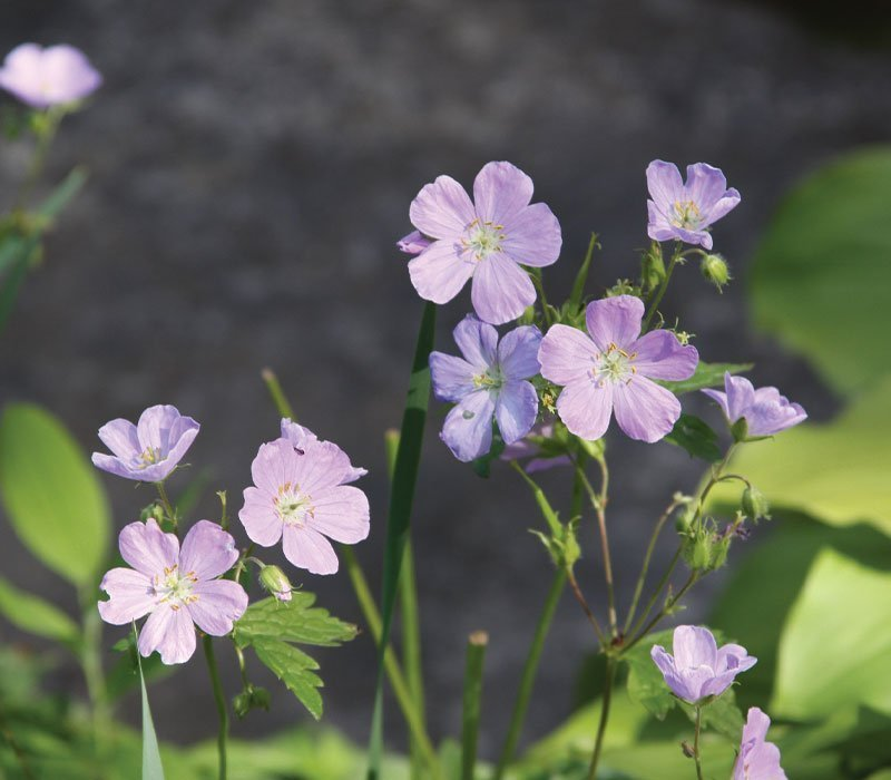 wild geranium maculatum wisconsin native perennials at johnson's nursery ftimg