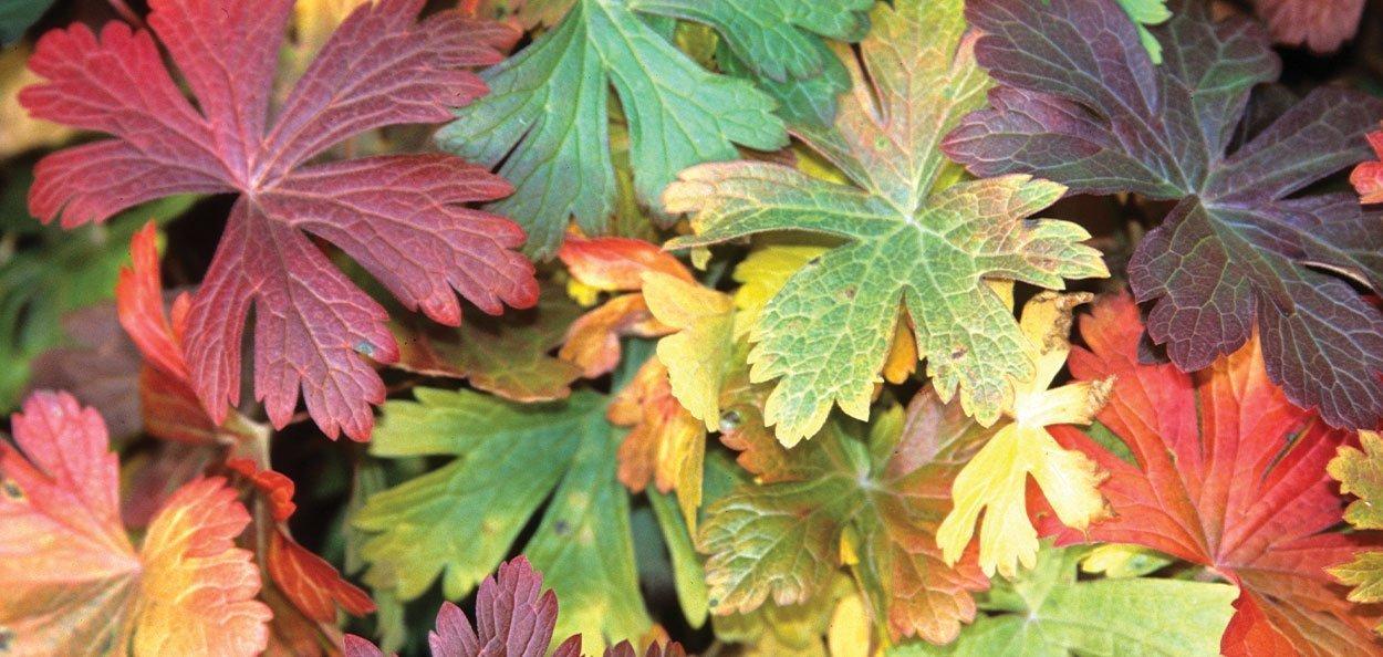 wild geranium maculatum wisconsin native perennials red orange yellow fall colors