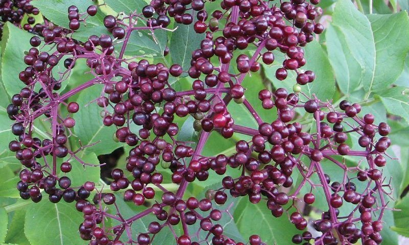 american elderberry sambucus canadensis native shrubs johnson's nursery ftimg