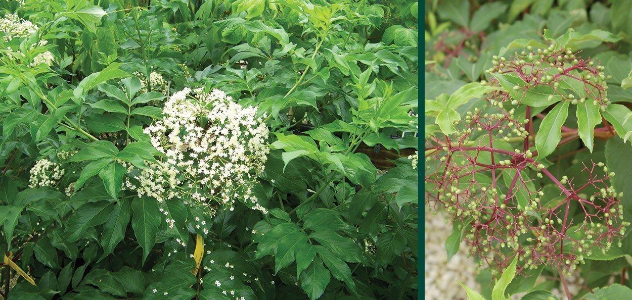 american elderberry sambucus canadensis spring flower turns to edible fruit