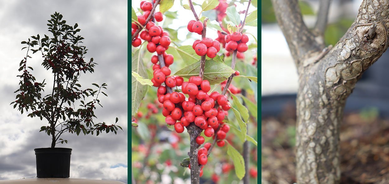 common winterberry ilex verticillata wisconsin native restoration shrub form red fruit bark