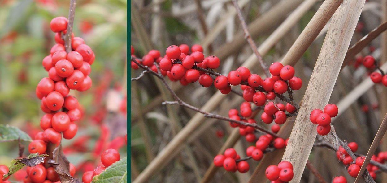 common winterberry ilex verticillata wisconsin native restoration shrub red fruit berry