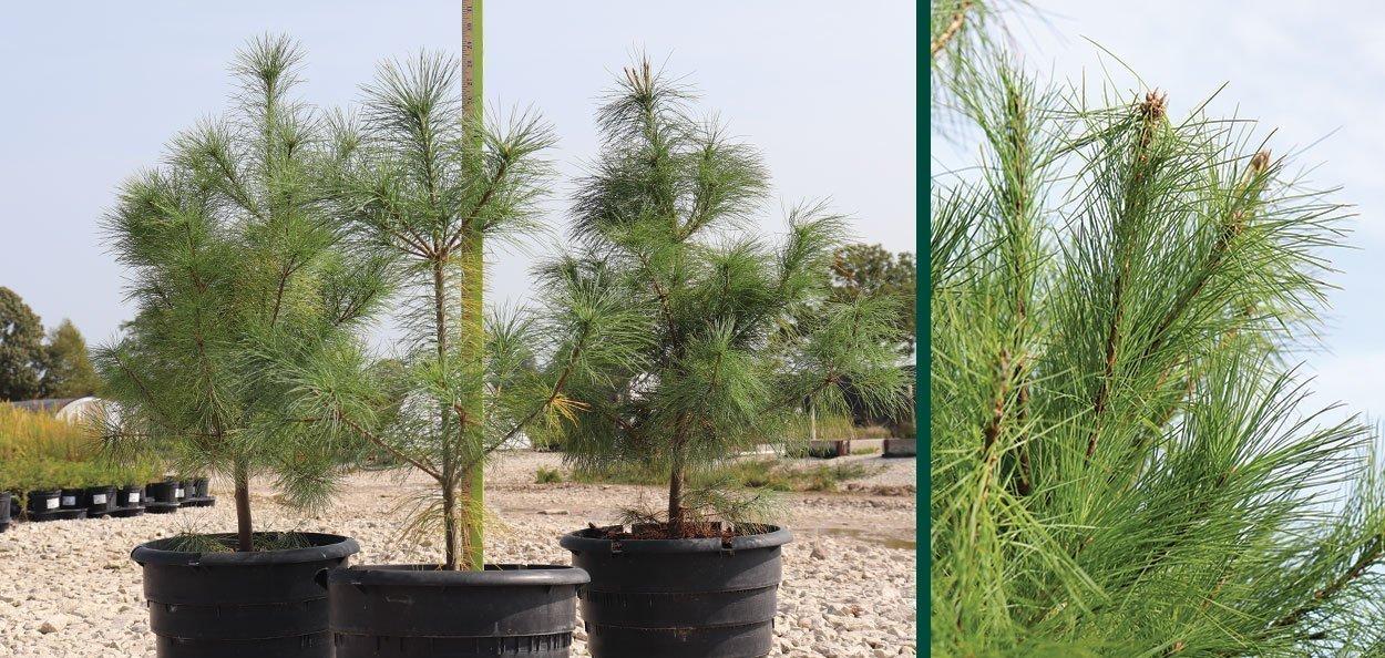 eastern white pine pinus strobus #5 rootmaker native evergreens at johnson's nursery