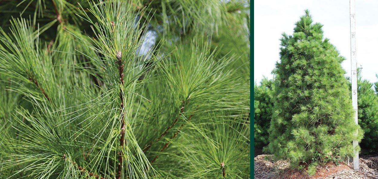 eastern white pine pinus strobus B&B field grown evergreens at johnson's nursery