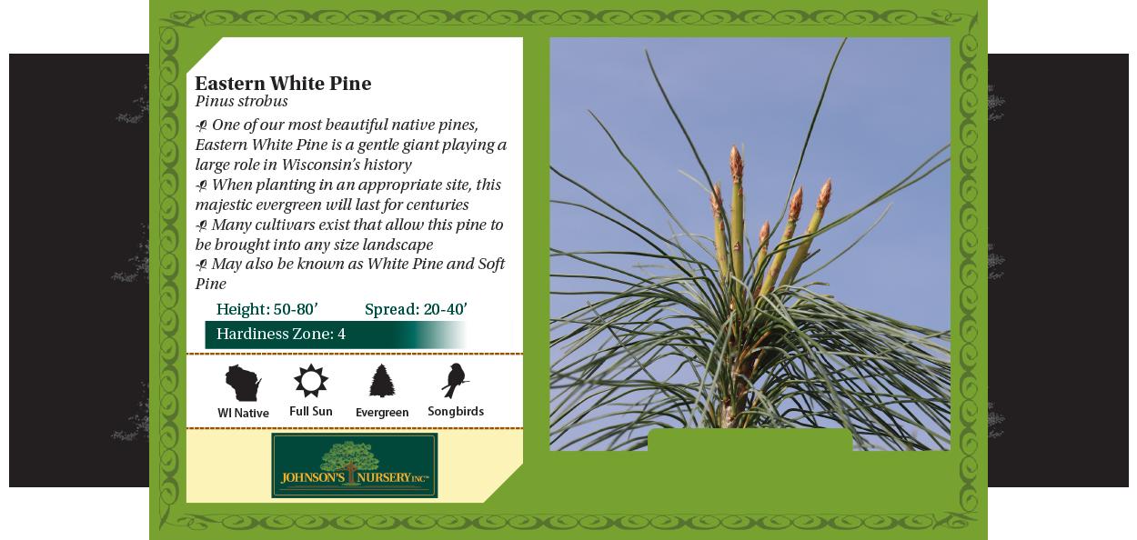 eastern white pine pinus strobus at johnson's nursery wisconsin native evergreens benchcard