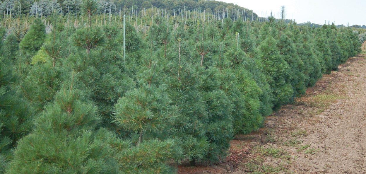 eastern white pine pinus strobus in the fields at johnson's nursery