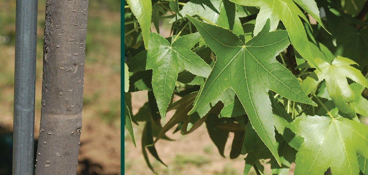 moraine sweetgum liquidambar styraciflua full sun slow growing shade trees for yard
