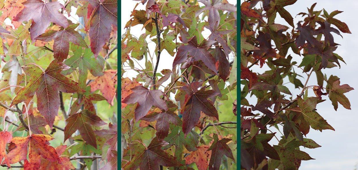moraine sweetgum liquidambar styraciflua red fall color shade tree