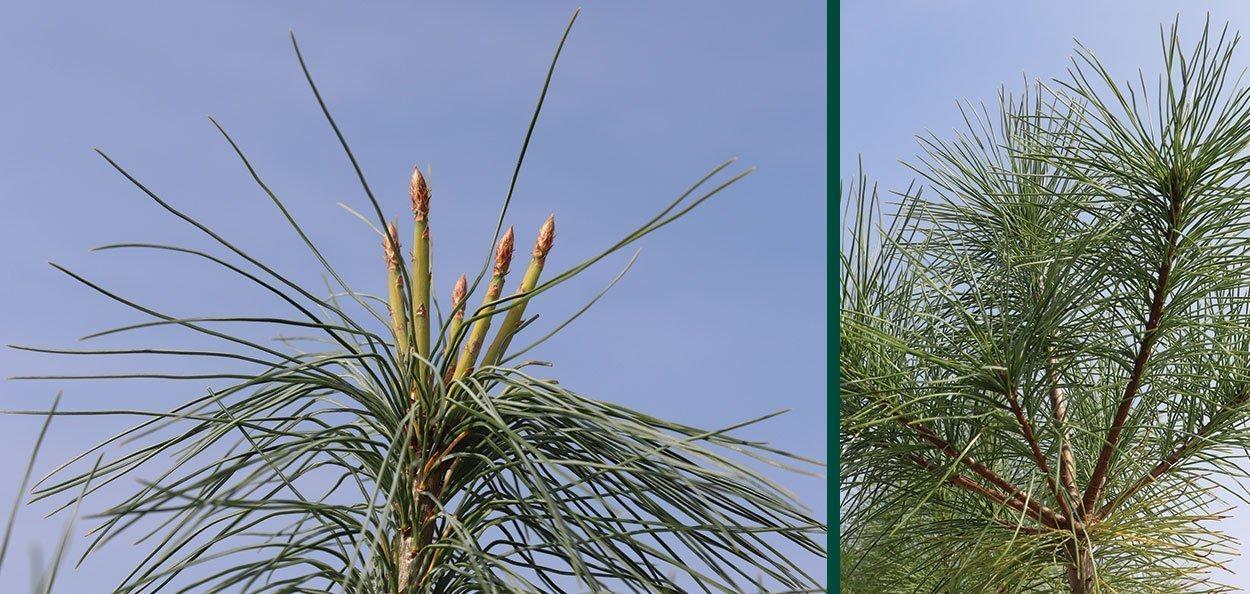 pine needle and cones on eastern white pine pinus strobus
