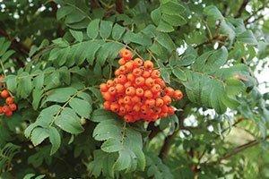 showy mountainash sorbus decora catalog