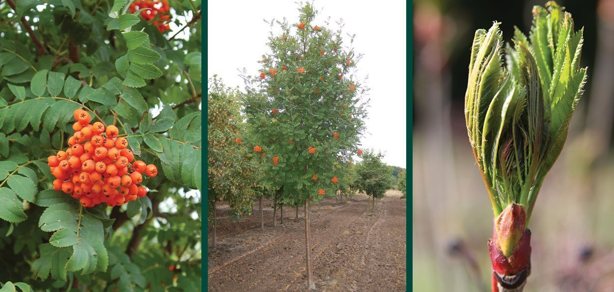showy mountainash sorbus decora wisconsin native tree mid size tree white spring flowers red orange fruit