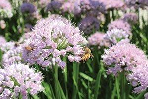 allium summer peek a boo ornamental onion catalog